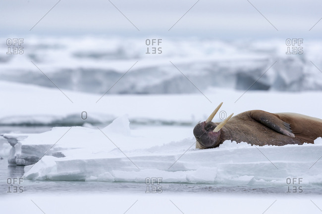 During a gray day, a walrus sleeps on the pack ice, tusk in the ai