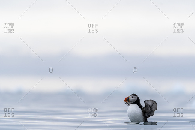 A puffin spreads its wings on the surface of the sea