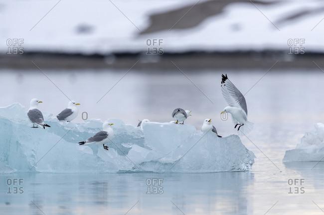 A black-legged kittiwake land on a piece of ice among a group of birds
