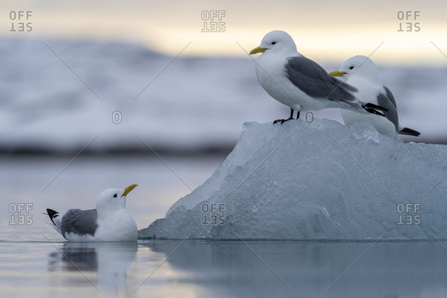 Two black-legged kittiwake stand on a piece of ice, one is swimming