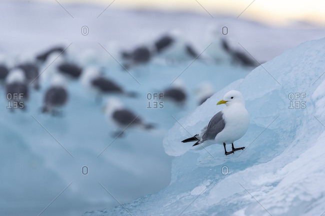 A seagull sits on a piece of ice, other birds in the background