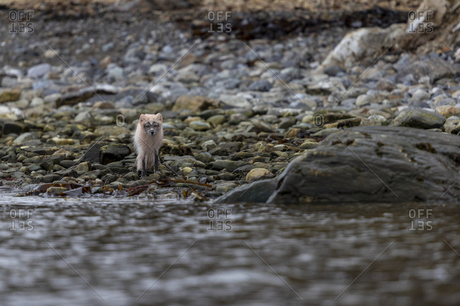 In the spring, an arctic fox roams the shore in search of food