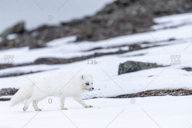 An arctic fox walks on a hill between snow patches