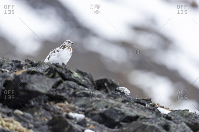 A ptarmigan moulting stands on top of a hill
