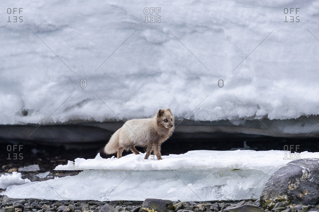 An arctic fox walks on the shoreline between ice blocks