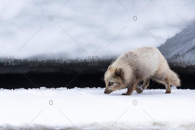 An arctic fox walks on shore between ice blocks looking for food