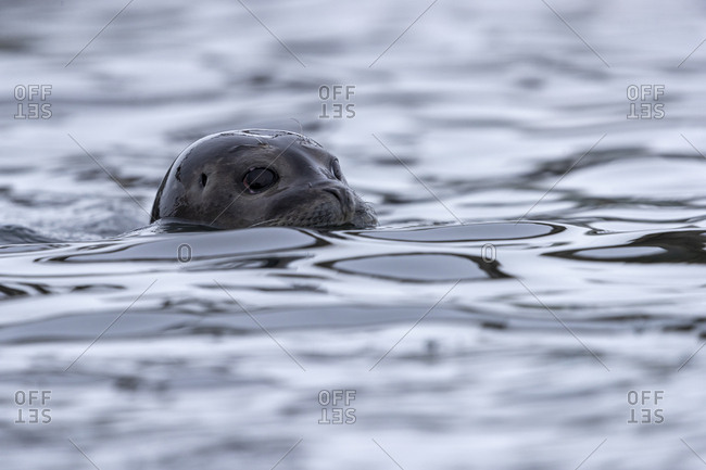 The head of a seal goes out of the water