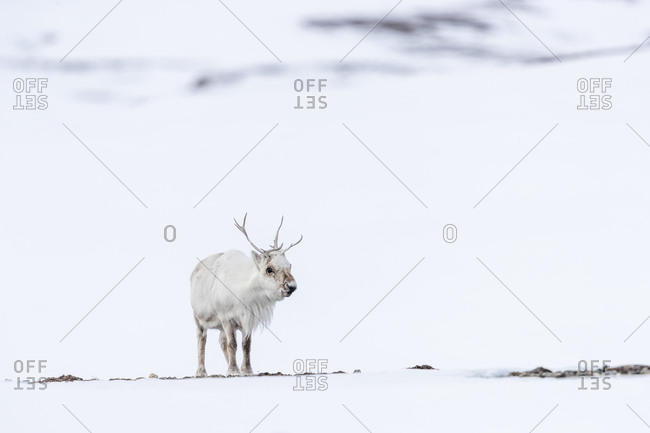 A reindeer stands in the snow looking in our direction