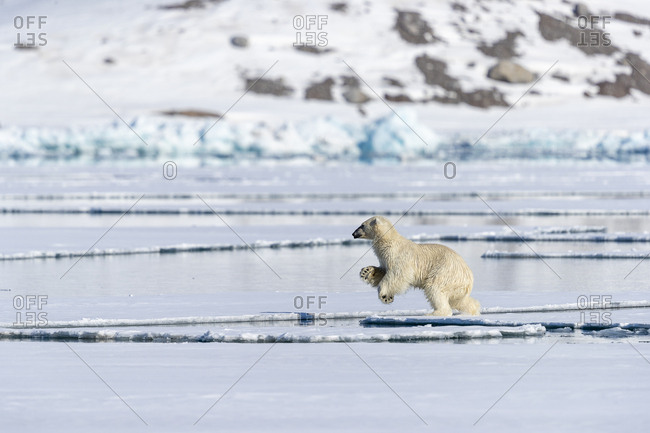 On a sunny day, a polar bear jumps between two pieces of pack ice