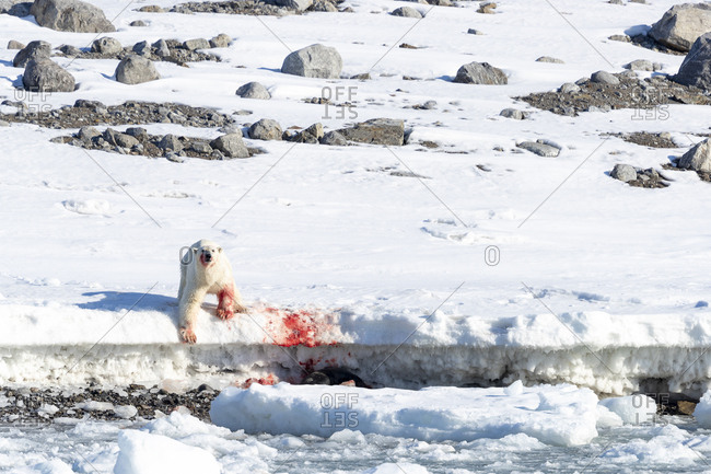 Bloody hunting scene of a polar bear having caught a seal