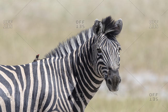A zebra under the sun with a bird on his back looking in our direction