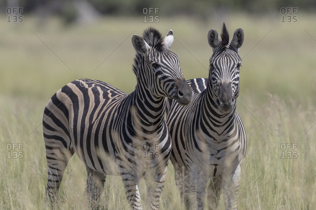 Two zebras under the sun in the savannah, look in our direction