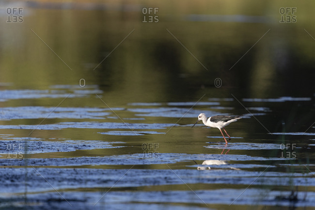 A wader walks in the water