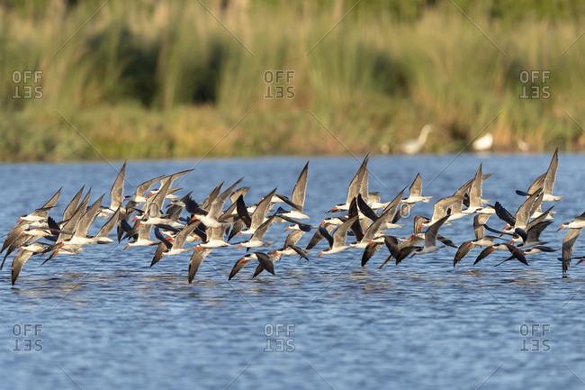 On a sunny day, african skimmers flies over a river