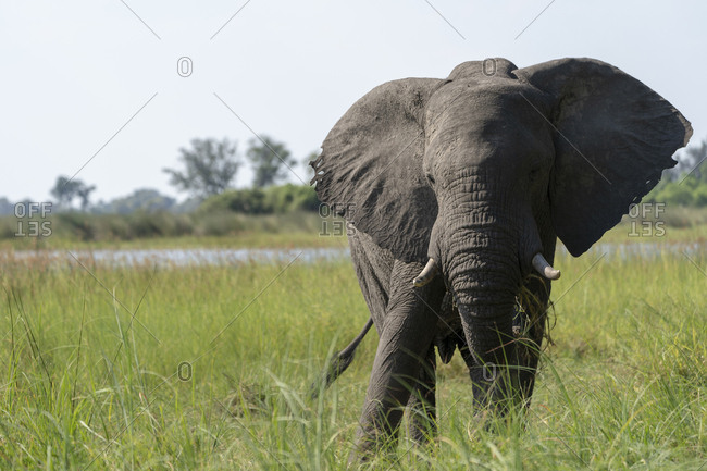 An elephant feeds on grass in a marsh in the okavango delta