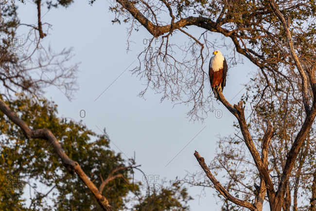 In the morning light, an african fish eagle stands on a branch