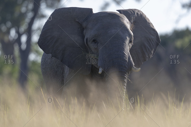 Image at ground level of an elephant looking in our direction