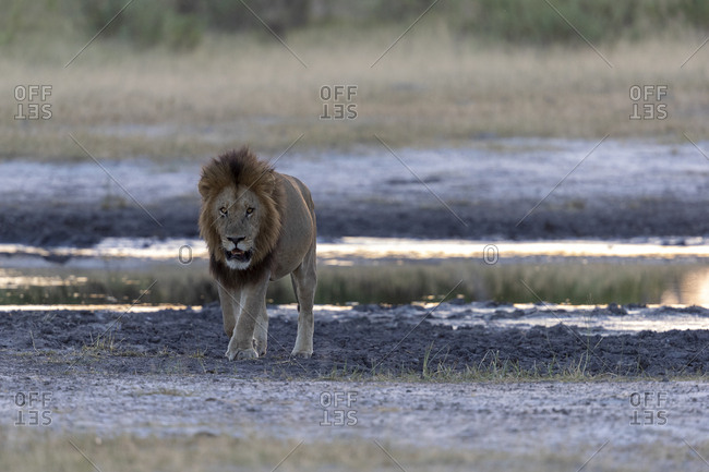 A lion walks, looking in our direction at dusk near a pond