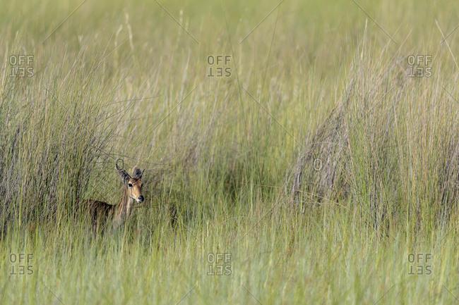 An antelope hides in tall grass