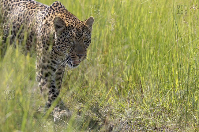 During a beautiful sunny day, a leopard patrols his territory