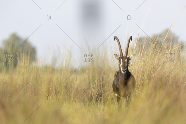 An sable antelope stands among tall grass and looks in our direction