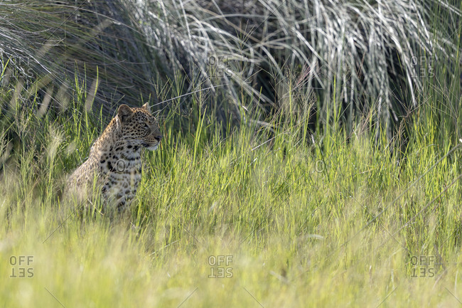 A leopard is sheltering from the sun under tall grass