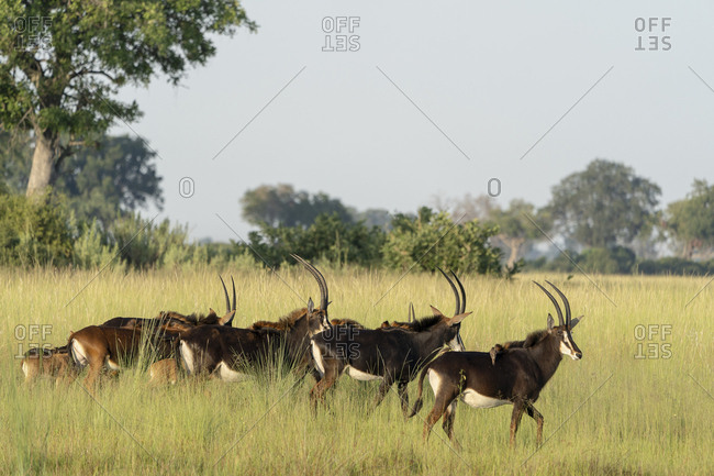 Early morning, a group of sable antelope walks in the savannah