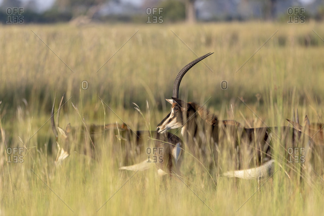 A group of sable antelope walks in the savannah through tall grass