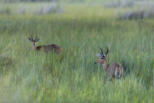 Early morning, two antelopes stand in the middle of tall green grasses