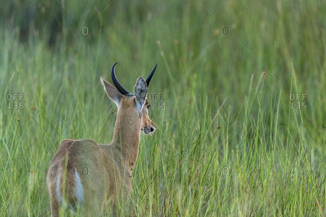 Early morning, an antelope stand in the middle of tall green grasses
