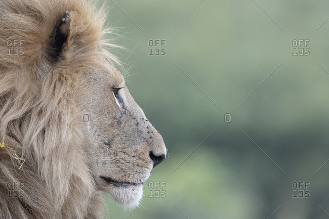 A lion in profile, with a beautiful mane