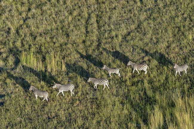 Aerial view of a group of zebras walking in the savannah