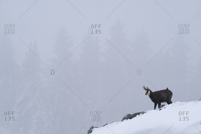 Chamois, standing on a rock in a winter setting