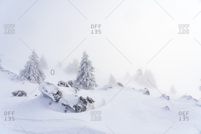 Snow-covered coniferous in a mountainous setting