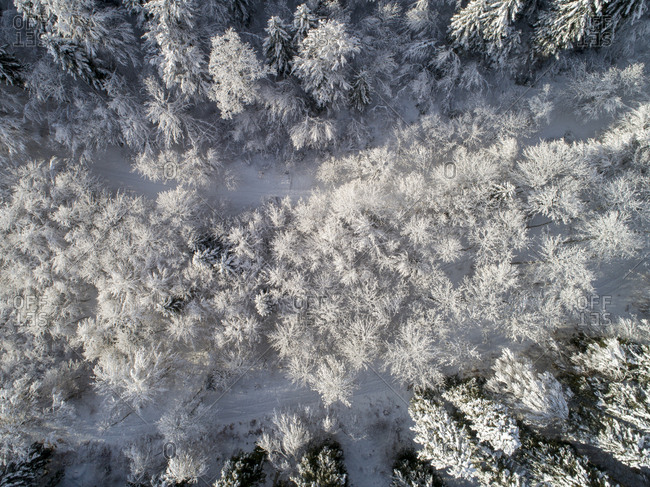 Aerial view of a coniferous forest covered with snow