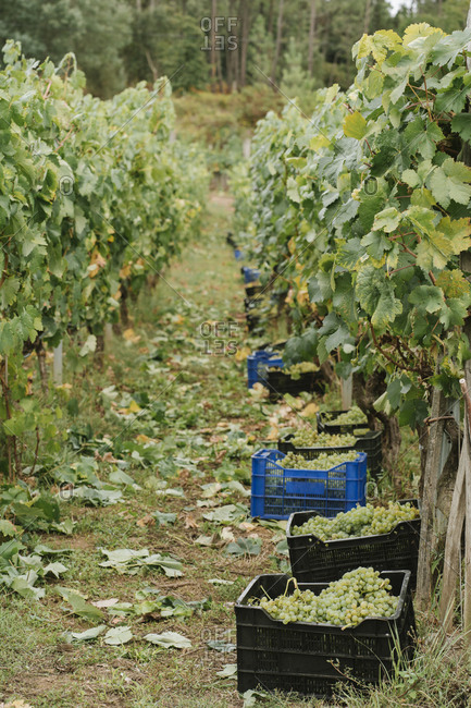 Boxes with harvested green grapes at a vineyard