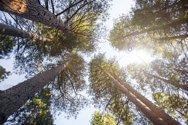 Conifers seen from below- Yosemite National Park- California- USA