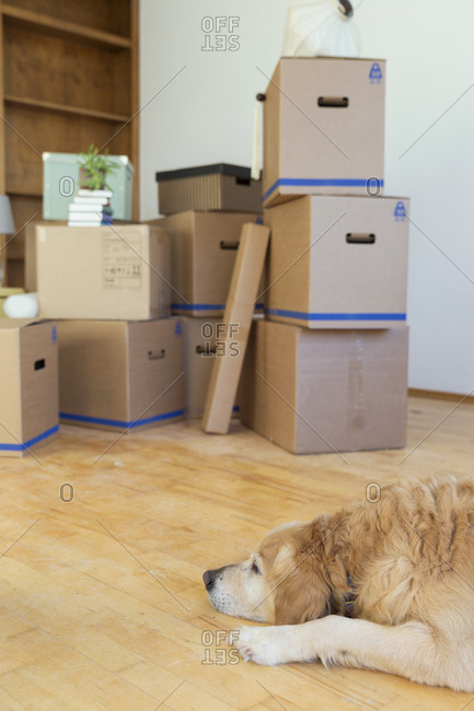 Dog lying on the floor in front of cardboard boxes in an empty room in a new home