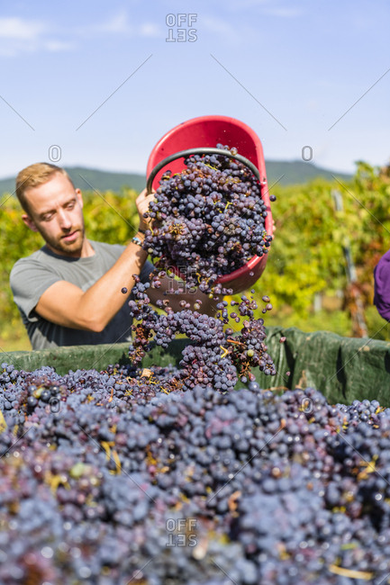 Man pouring red grapes on trailer in vineyard