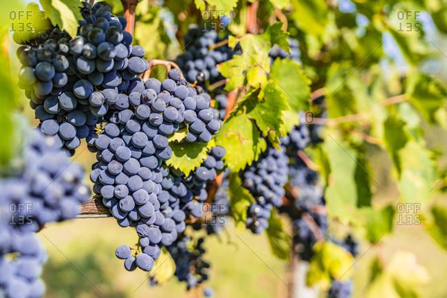 Ripe grapes on vine - Offset