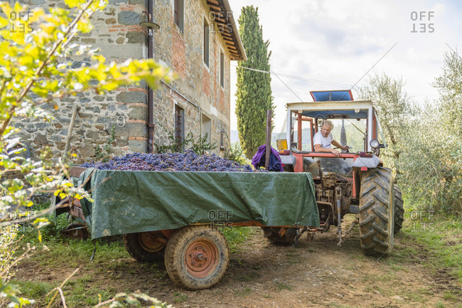 Man on tractor with harvested grapes on trailer