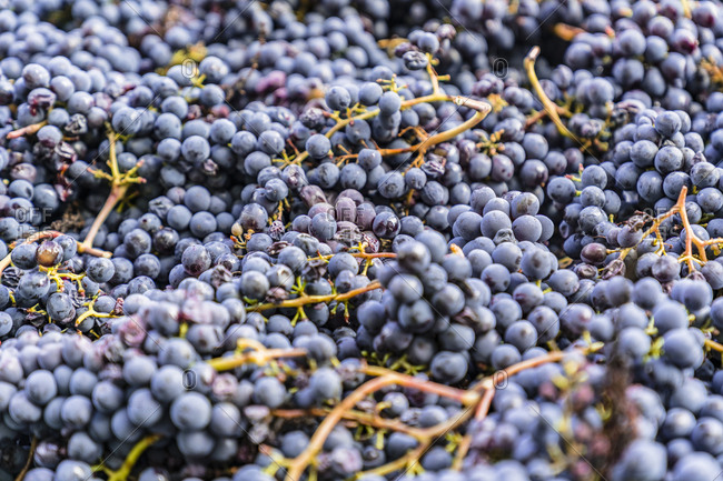 Harvested red grapes