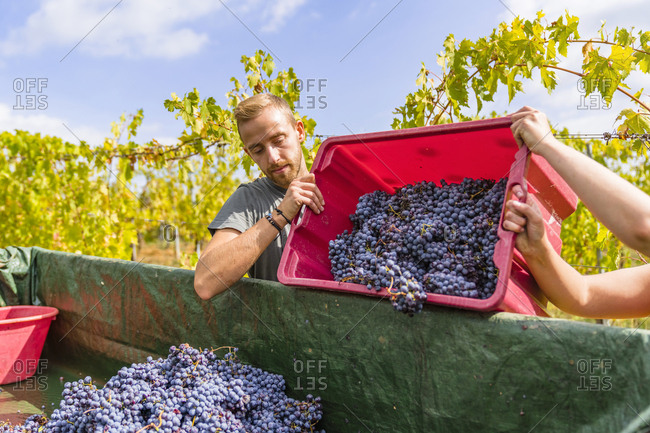 Man and woman pouring red grapes on trailer in vineyard