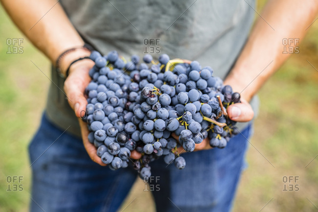 Close-up of man holding red grapes in vineyard