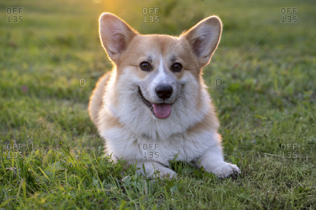 Portrait of Pembroke Welsh Corgi lying on a meadow at backlight