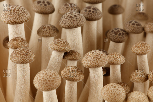 Detail of brown Beech�Mushroom.