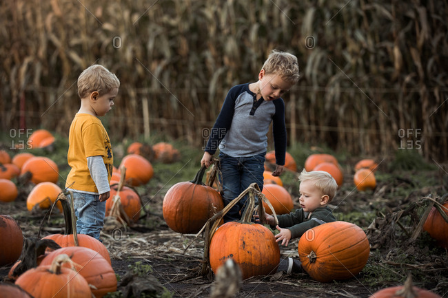 Three little boys picking pumpkins in a pumpkin patch