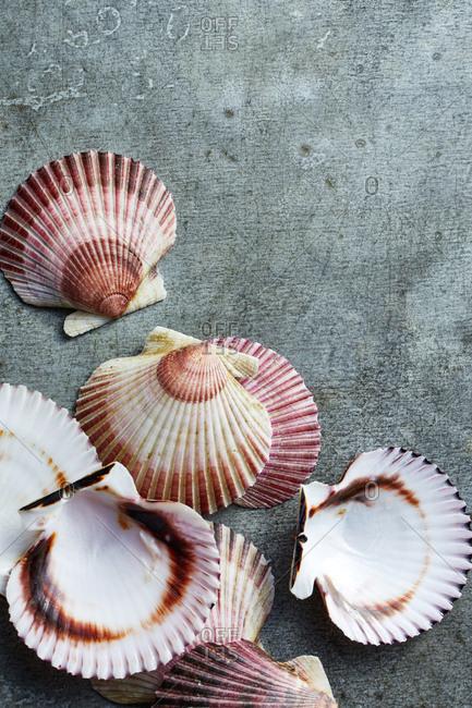 Scallops seashells on gray background