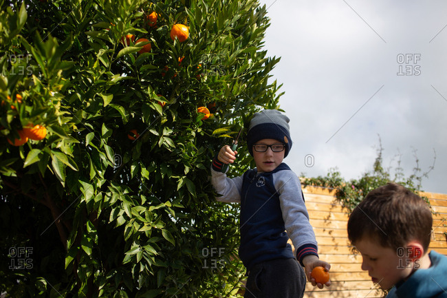 Two boys picking oranges from a tree