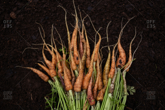 Bunch of fresh picked carrots lying on dirt